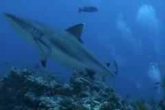 lampione-squalo-grigio